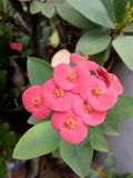 Flores del Euphorbiaceae en el pote Fotografía de archivo libre de regalías