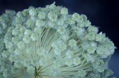 Flores del fantasma Imagenes de archivo