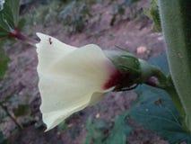 Flores del finger de la señora Imágenes de archivo libres de regalías