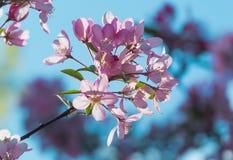 Flores del flor de cerezas japonés en la primavera Imagen de archivo libre de regalías
