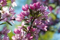 Flores del flor de cerezas japonés en la primavera Fotografía de archivo