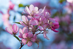 Flores del flor de cerezas japonés en la primavera Foto de archivo