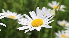 Flores del flor de las margaritas almacen de metraje de vídeo
