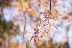 Flores del flor del rosa de Sakura Imagen de archivo libre de regalías
