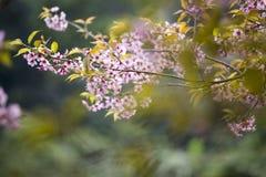 Flores del flor del rosa de Sakura Fotografía de archivo