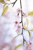 Flores del flor del rosa de Sakura Fotografía de archivo libre de regalías