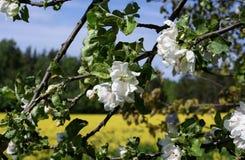 Flores del flor, manzano Abeja de la miel que recolecta el polen, y polinizándolo Foto de archivo