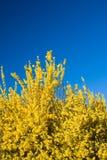 Flores del Forsythia y cielo azul en resorte Foto de archivo libre de regalías