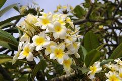 Flores del Frangipani Foto de archivo libre de regalías