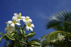 Flores del Frangipani Imágenes de archivo libres de regalías