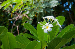 Flores del Frangipani. Fotografía de archivo