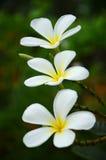 flores del frangipani Fotos de archivo