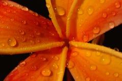 Flores del Frangipani Imagen de archivo libre de regalías