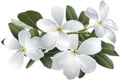 Flores del frangipani del Plumeria Foto de archivo