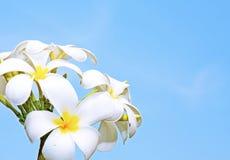 Flores del Frangipani en el cielo azul claro fotografía de archivo