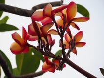 Flores del Frangipani, en silueta Fotografía de archivo