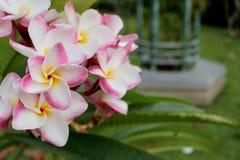 Flores del frangipani del Plumeria en fondo verde de la hoja imagen de archivo