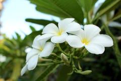 Flores del frangipani del Plumeria en fondo verde de la hoja fotografía de archivo