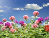 Flores del geranio Imagen de archivo libre de regalías