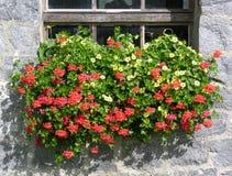Flores del geranio Imágenes de archivo libres de regalías