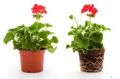 Flores del geranio Foto de archivo libre de regalías