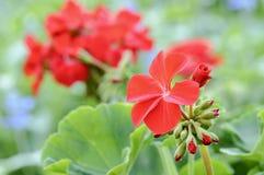 Flores del geranio Imagen de archivo