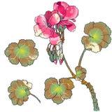 Flores del geranio, brotes, hojas ilustración del vector
