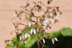 Flores del geranio de fresa fotografía de archivo