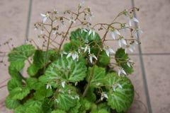 Flores del geranio de fresa foto de archivo