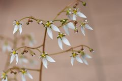 Flores del geranio de fresa fotografía de archivo libre de regalías