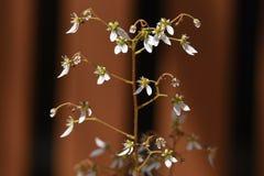 Flores del geranio de fresa imagen de archivo