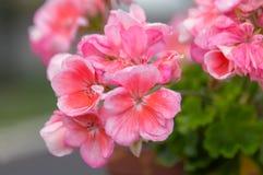 Flores del geranio en un pote imagenes de archivo