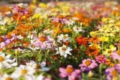 Flores del Gerbera Foto de archivo libre de regalías