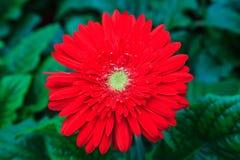 Flores del Gerbera Fotos de archivo libres de regalías