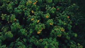 Flores del girasol almacen de video