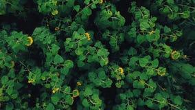 Flores del girasol metrajes