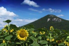 Flores del girasol en montañas Fotos de archivo