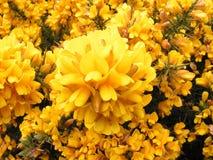Flores del Gorse. Imágenes de archivo libres de regalías