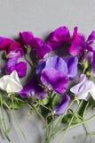 Flores del guisante de olor contra un fondo gris Imágenes de archivo libres de regalías