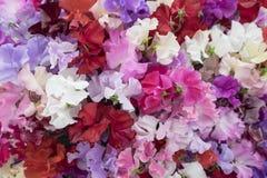 Flores del guisante de olor en sombras del rosa Fotos de archivo libres de regalías