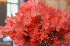 Flores del guisante de olor Verano Foto de archivo libre de regalías