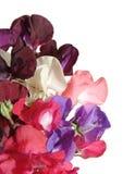 Flores del guisante dulce Fotografía de archivo libre de regalías