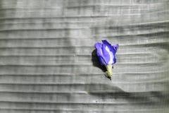 Flores del guisante en la hoja negra del plátano foto de archivo libre de regalías