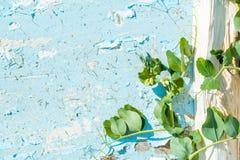 flores del guisante en un fondo azul del vintage Pintura agrietada el loach de la planta vuela un registro de madera imágenes de archivo libres de regalías