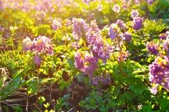 Flores del halleri o del solida en flor de la primavera - paisaje del Corydalis del Corydalis de la puesta del sol de la primaver Foto de archivo libre de regalías