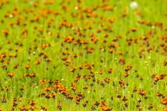 Flores del Hawkweed Fotografía de archivo libre de regalías