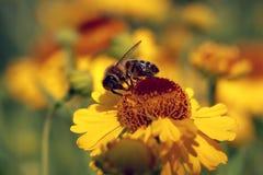Flores del Helenium con una abeja Imagen de archivo