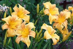 Flores del Hemerocallis alrededor Imagenes de archivo