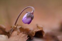 Flores del hepatica de la anémona de Kidneywort Imagen de archivo