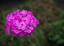 Flores del Hesperis Matronalis. foto de archivo libre de regalías